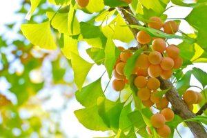 nguồn gốc cây bạch quả